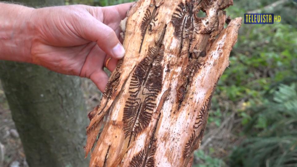 Vorschaubild für Borkenkäfer – Pirsch im Hardwald